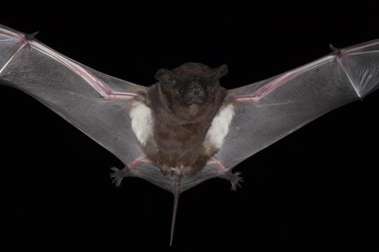 Three Signs You Have Bats in Your Attic